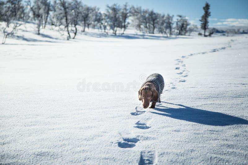 与一件被编织的毛线衣的一条美丽的棕色达克斯猎犬狗 库存照片