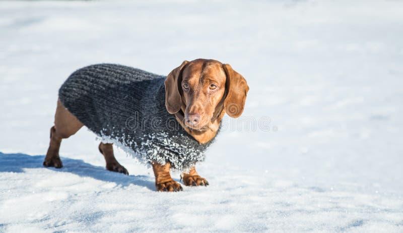 与一件被编织的毛线衣的一条美丽的棕色达克斯猎犬狗 免版税库存图片