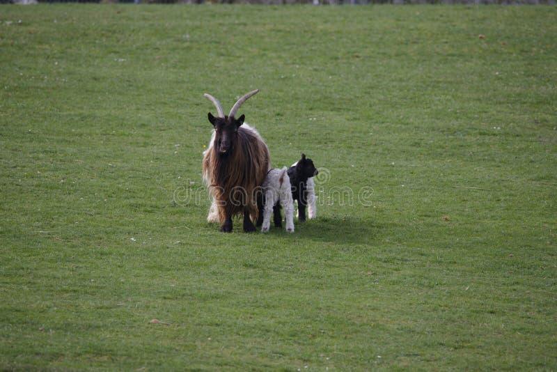 与三个孩子的开士米山羊 免版税库存图片