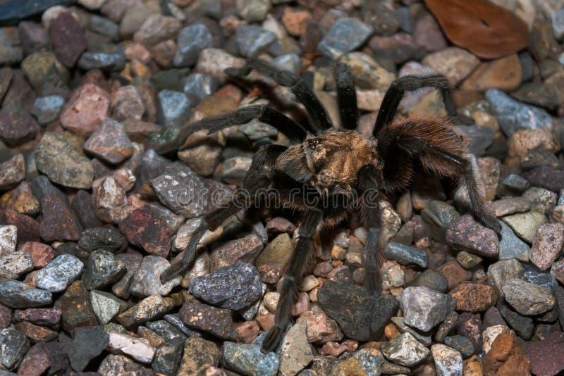 与三只眼睛的沙漠塔兰图拉毒蛛 图库摄影