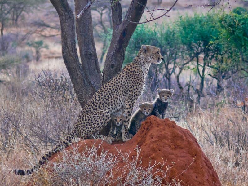 与三崽的猎豹 免版税库存照片