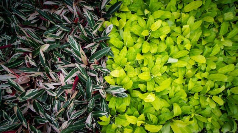 与三色Bamburanta厂生长的黄色爱树木的人 库存照片