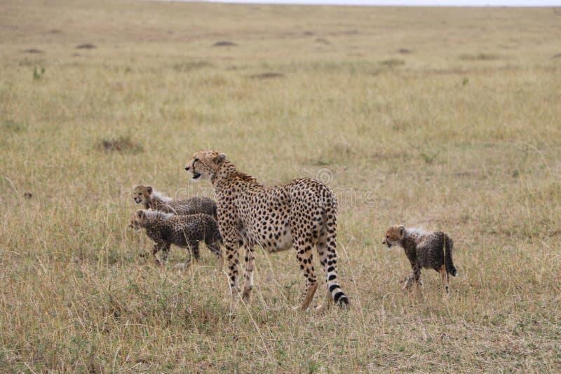 与三崽的猎豹在狂放的maasai玛拉 免版税库存照片