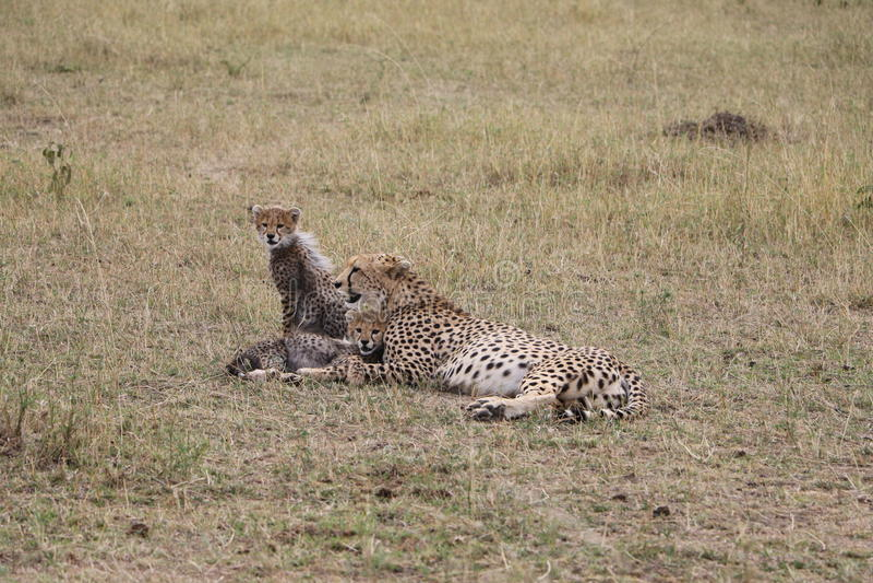 与三崽的猎豹在狂放的maasai玛拉 库存照片