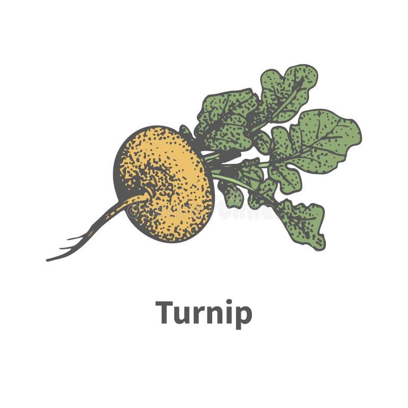 与上面的传染媒介手拉的成熟黄色白萝卜 向量例证