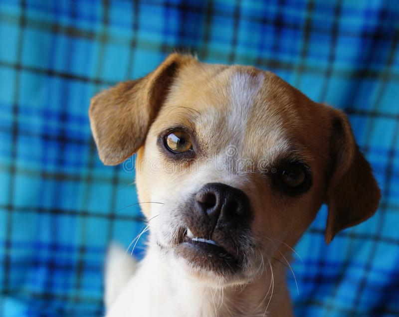 与下前牙突出的下颌的奇瓦瓦狗狗 库存图片
