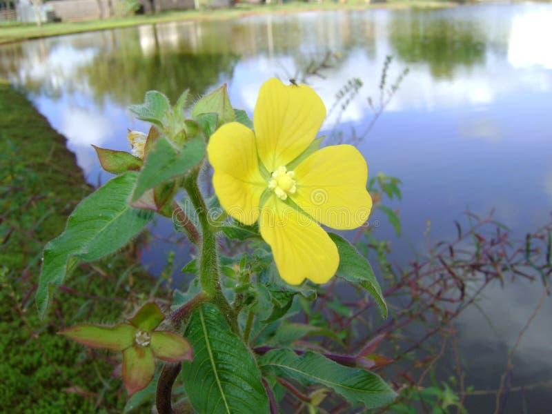 与下来在分支,那的黄色花出生并且在湖和河增长 免版税图库摄影