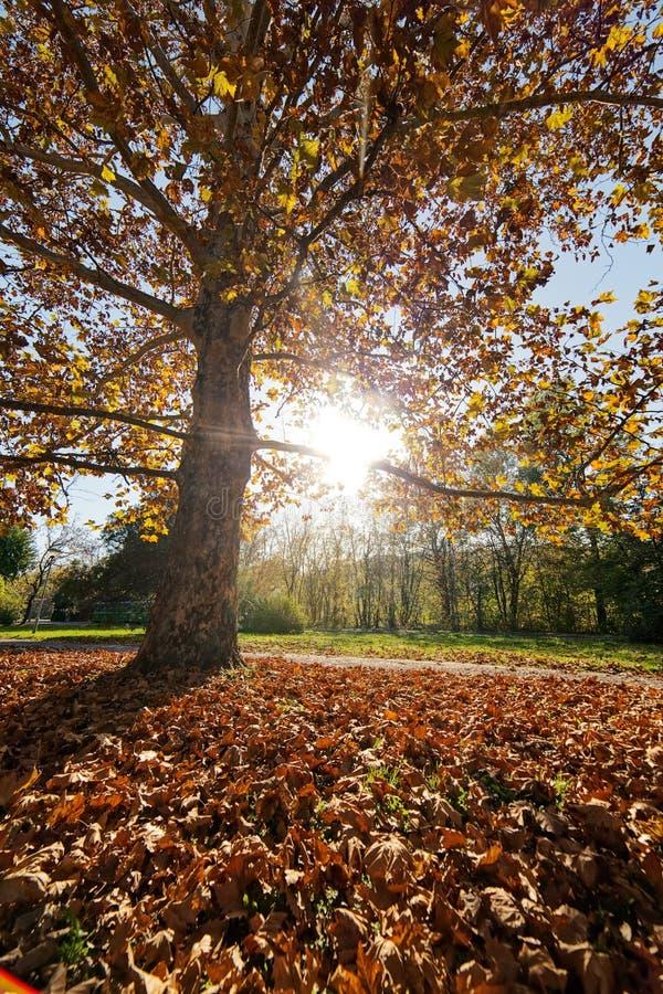 与下落的叶子的树 免版税图库摄影