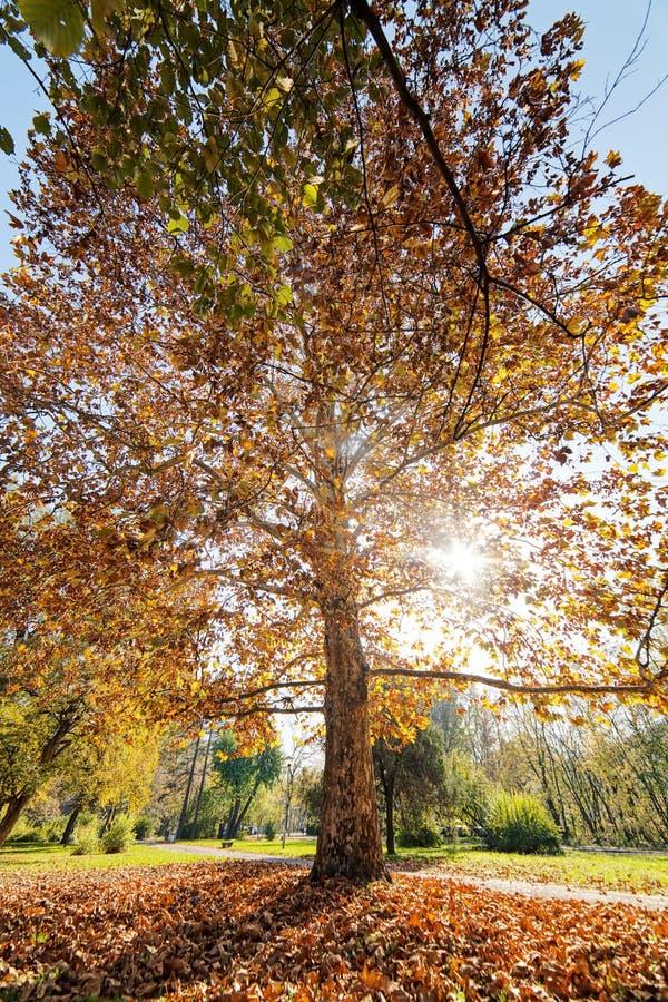 与下落的叶子的树 免版税库存图片