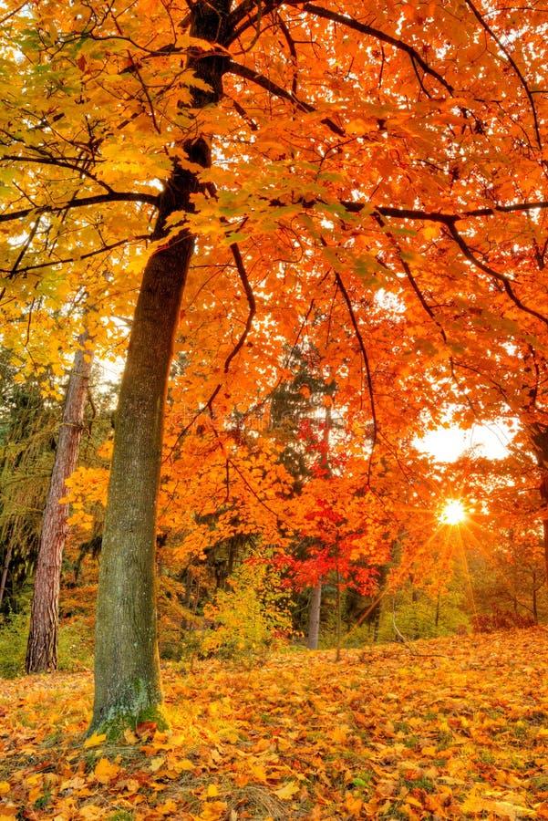 与下落的干燥叶子的美丽的秋天树 库存图片