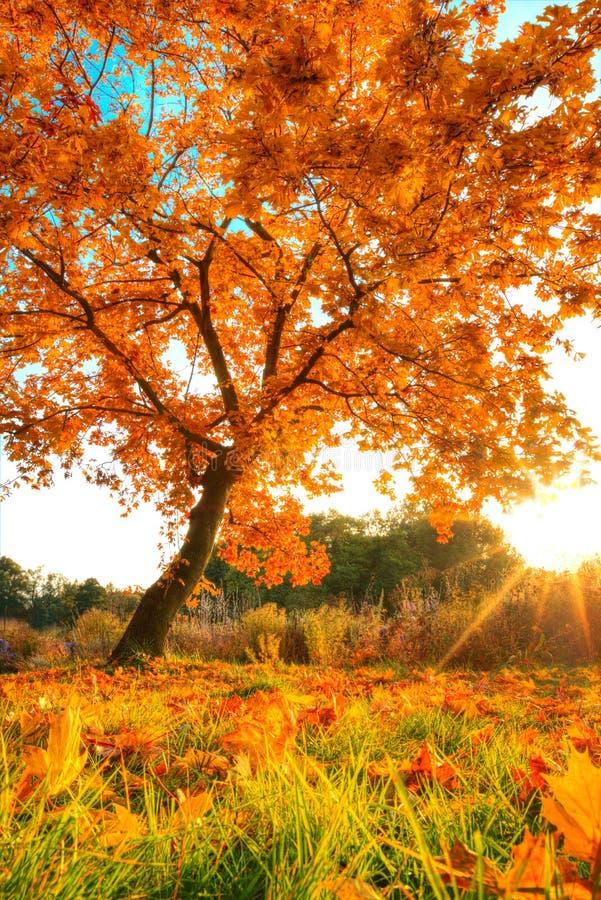 与下落的干燥叶子的美丽的秋天树 库存照片