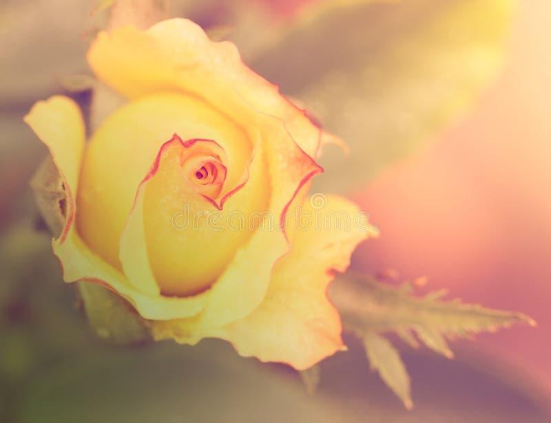 与下落的抽象浪漫黄色玫瑰花 免版税库存照片