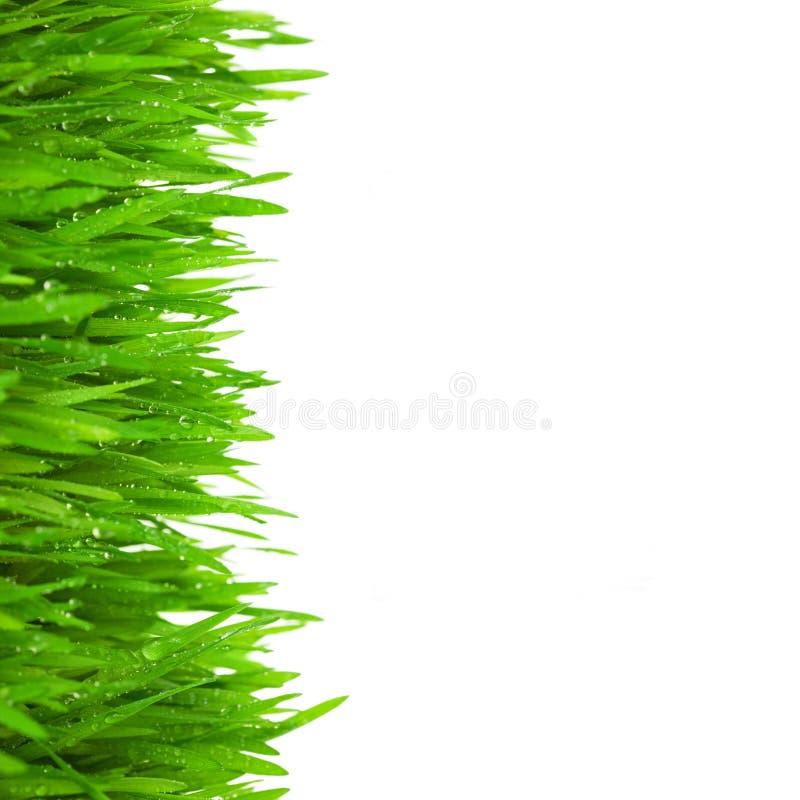 与下落的新鲜的绿草在白色降露/查出 库存照片