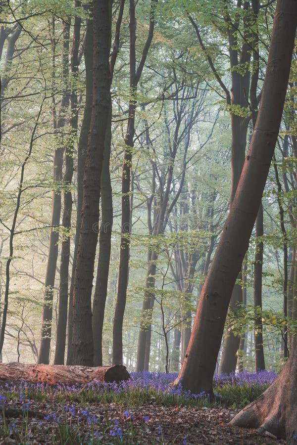与下落的树的日出在会开蓝色钟形花的草森林里 库存图片