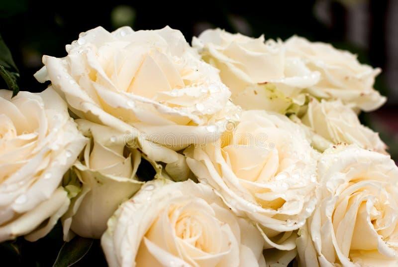 与下落的白色玫瑰 免版税库存图片