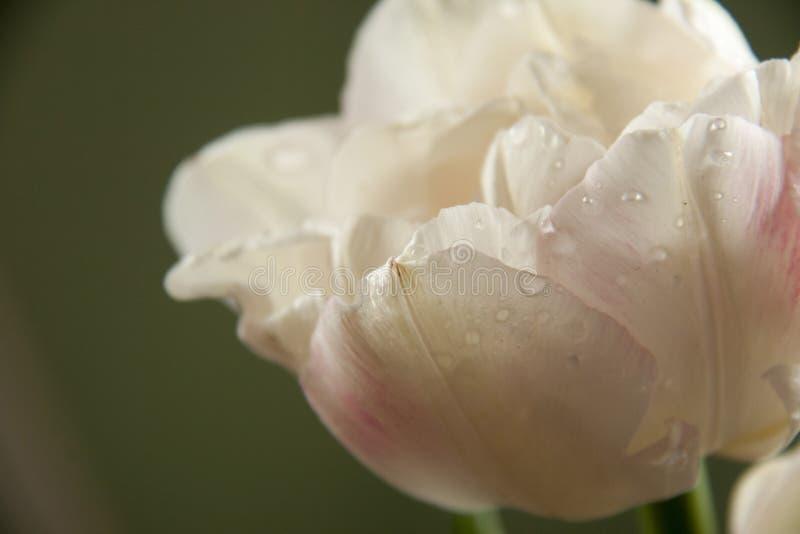 与下落的白色郁金香 库存照片