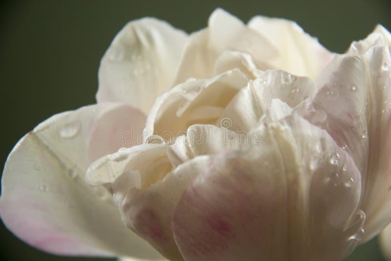 与下落的白色郁金香 免版税图库摄影