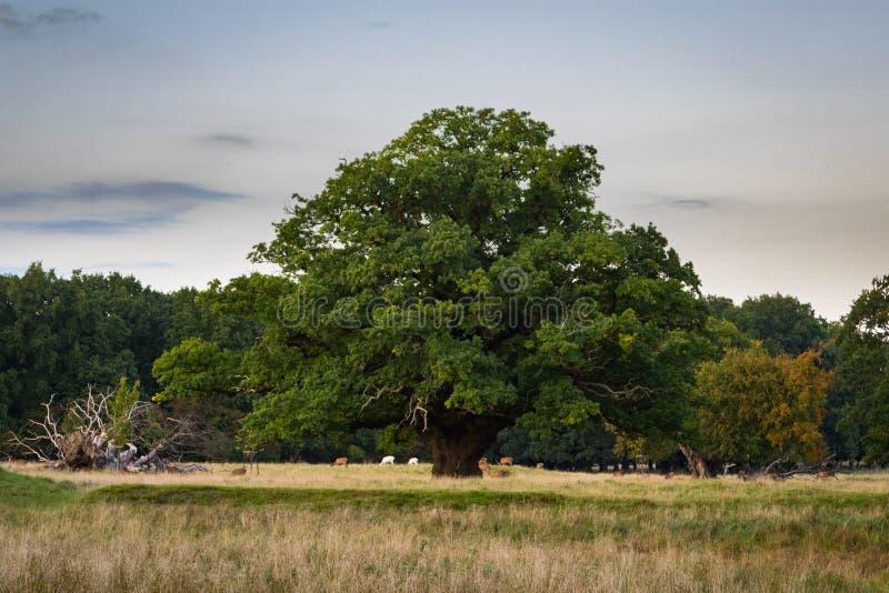 与下鹿群的大,老橡树,西兰,丹麦 免版税库存照片