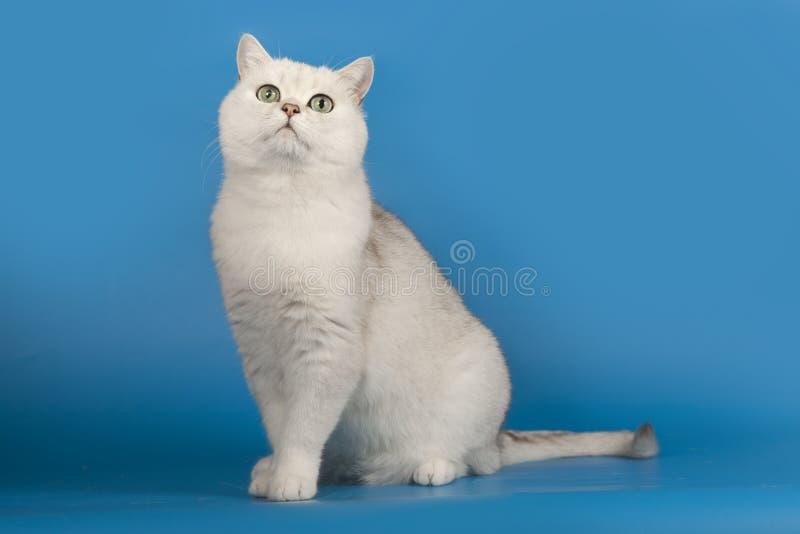 与不可思议的嫉妒的英国黄鼠品种猫白色坐蓝色背景 图库摄影
