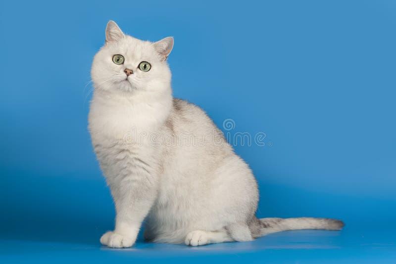 与不可思议的嫉妒的英国黄鼠品种猫白色坐蓝色背景 免版税图库摄影