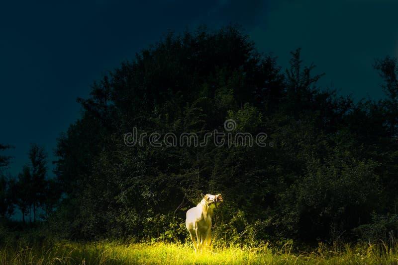 与不可思议的白马的童话当中场面叫喊在聚焦 与不可思议的光的黑暗的背景在美丽的白马 图库摄影