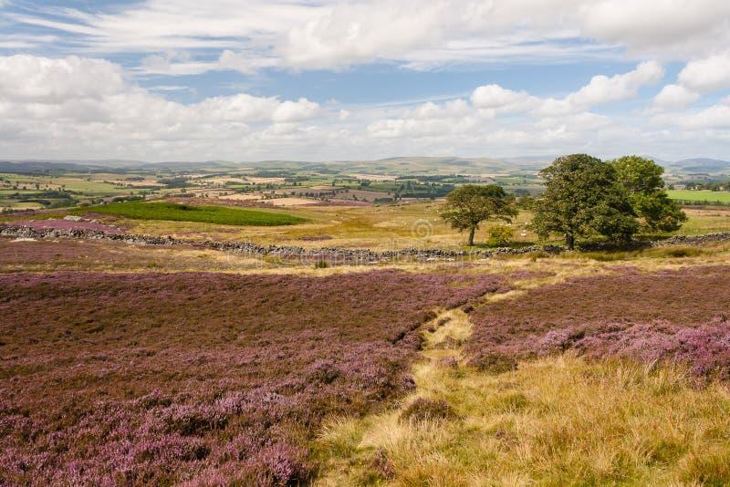 与丛和紫色石南花的荒野在绽放开花 免版税库存图片