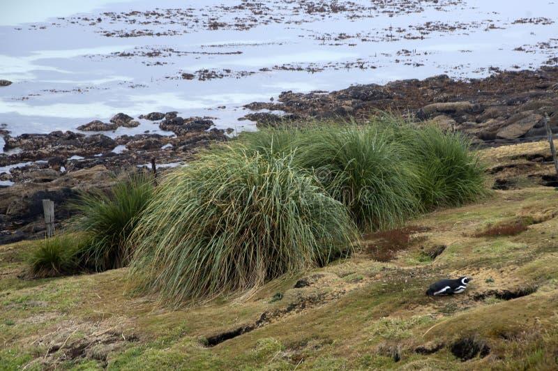 与丛草和magellanic企鹅的沿海场面 库存图片