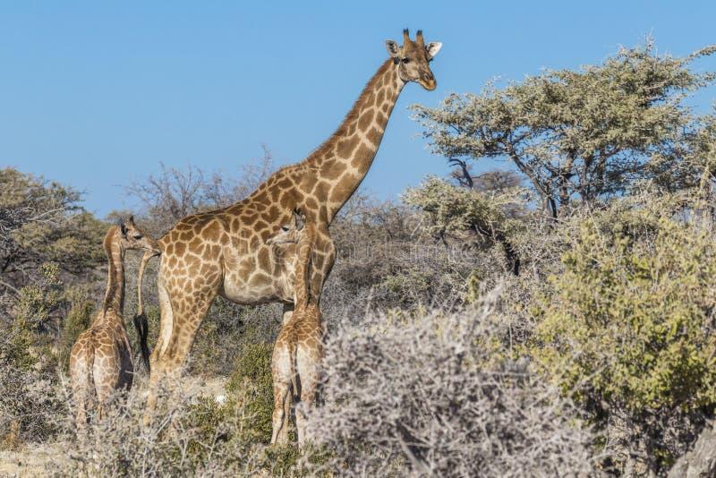与两个婴孩的一只母亲长颈鹿长颈鹿Camelopardalis,埃托沙国家公园,纳米比亚 免版税库存图片