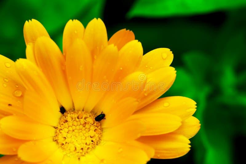 与两个微小的黑臭虫的美丽的黄色大丁草花 库存照片