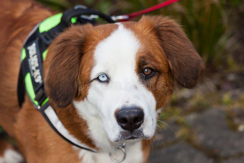 与两只不同色的眼睛的狗 免版税图库摄影