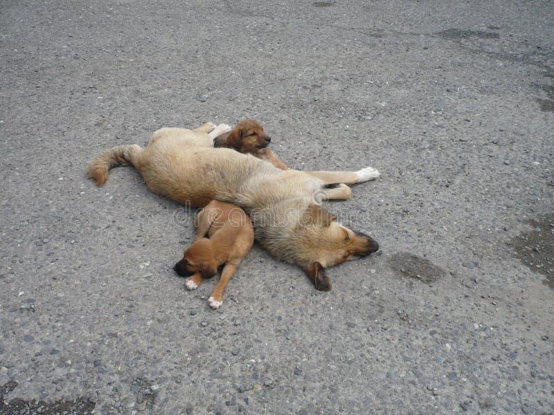 与两只棕色小狗睡觉的成人棕色狗 免版税库存照片