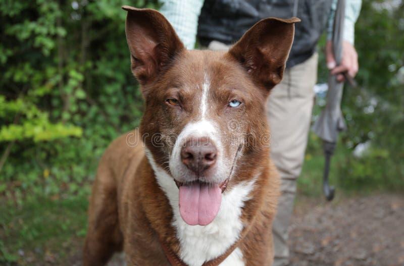 与两只眼睛的布朗狗 免版税库存照片