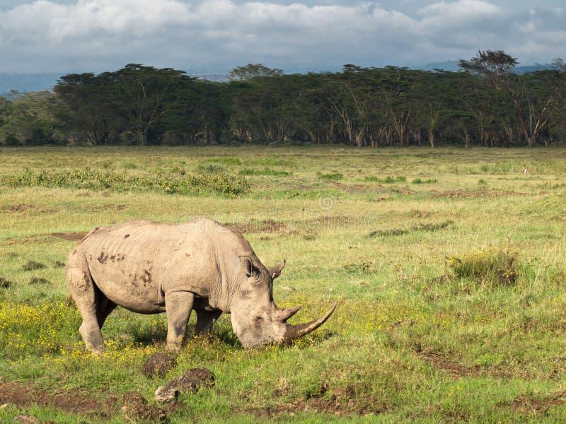 与两块大垫铁吃草在一个领域的与花在树背景和多云天空的成人犀牛在纳库鲁国家公园 免版税库存照片