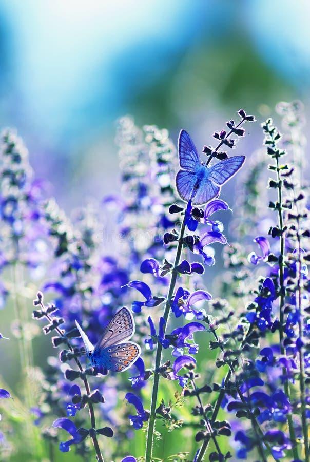 与两小明亮的蓝色蝴蝶蓝色的背景坐紫色花在一个农村草甸的夏天好日子 库存图片