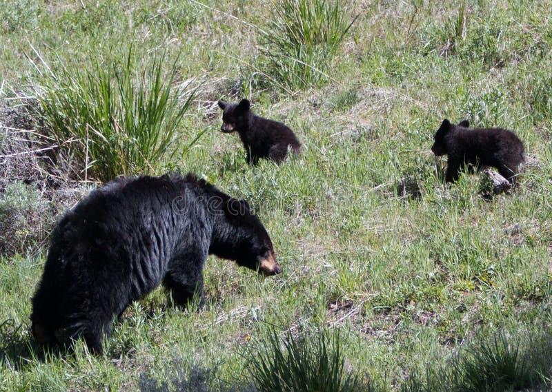 与两小崽的美国黑熊母母猪在黄石国家公园 免版税库存图片
