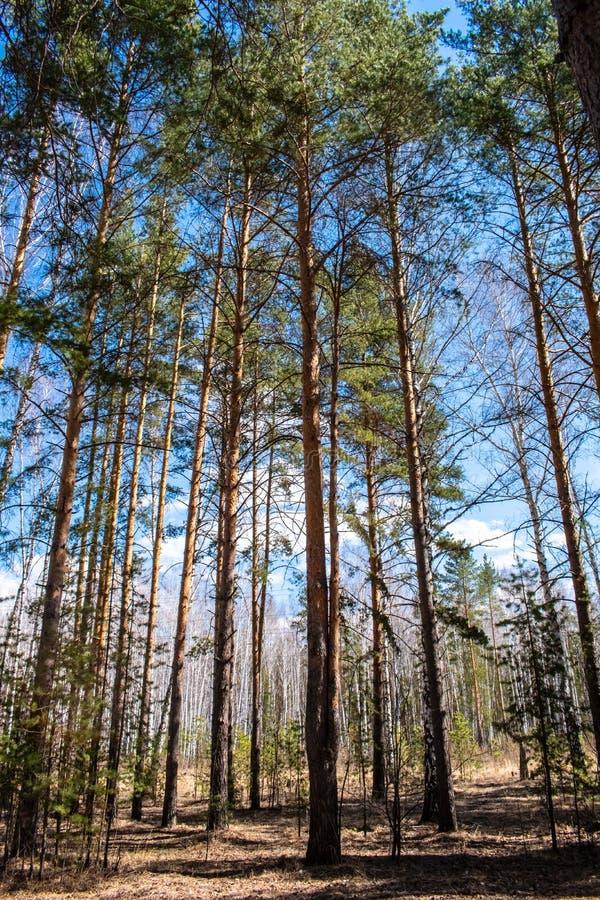 与两根树干的杉木 库存照片
