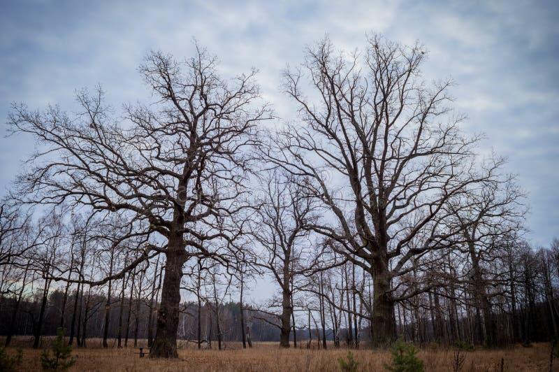 与两棵百年橡木的秋天风景 免版税库存照片