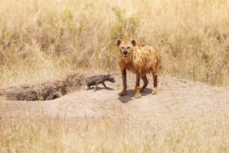 与两头小牛的母鬣狗在他们的孔附近 免版税库存照片