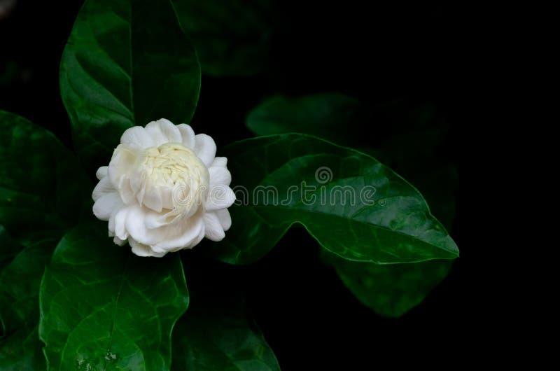 与为芳香和茶使用在黑色的它的叶子的唯一美丽的新鲜的白色泰国茉莉属花从庭院 免版税库存图片