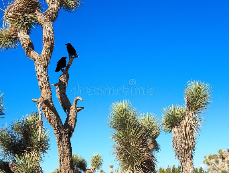 与乌鸦的约书亚树在他们在与蓝天的沙漠风景 库存照片