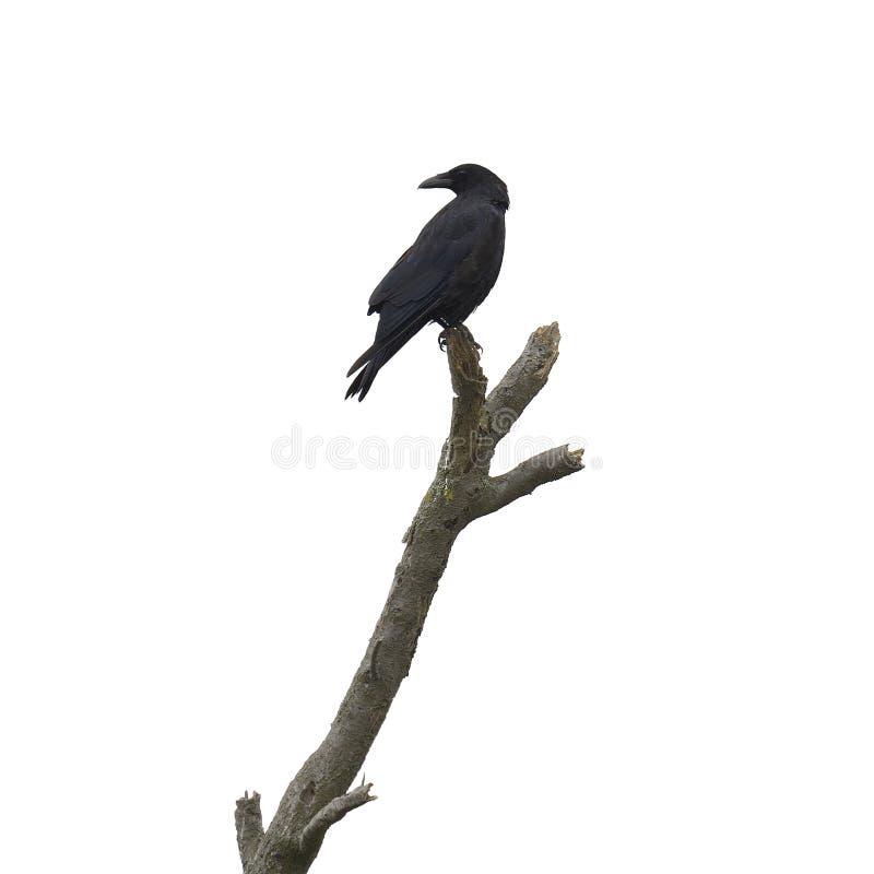与乌鸦的死的树 免版税库存图片