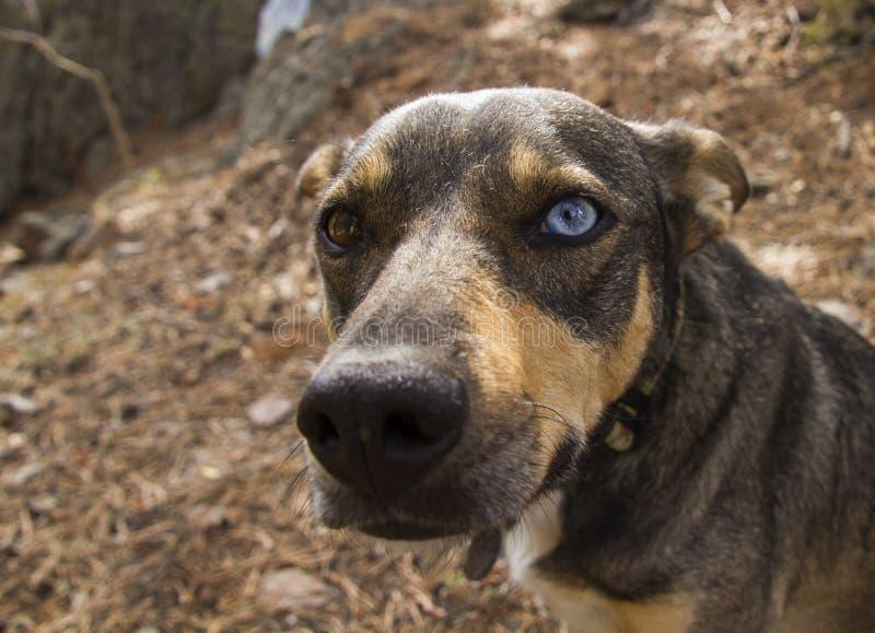 与二只不同色的眼睛褐色和蓝色的狗 库存照片