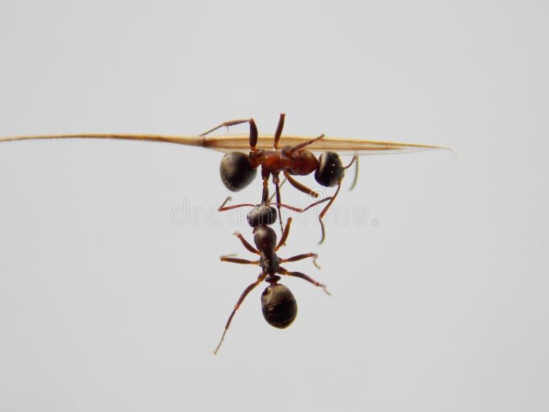 与二战斗的蚂蚁 免版税库存图片