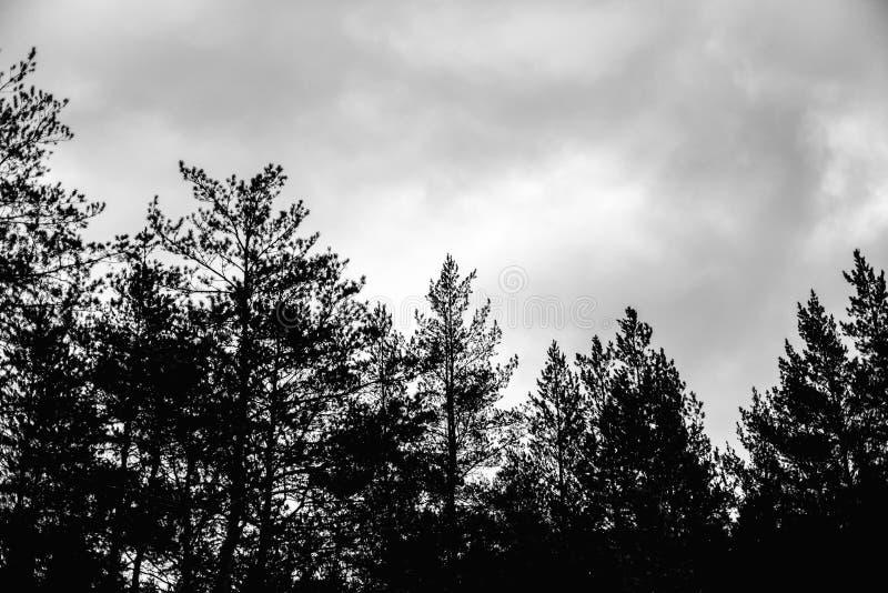 与云彩和杉树上面的黑暗的天空在森林里 库存图片