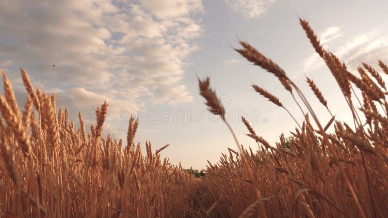 与云彩的美丽的天空在麦田的乡下 反对天空的成熟谷物收获 麦子震动的耳朵 皇族释放例证