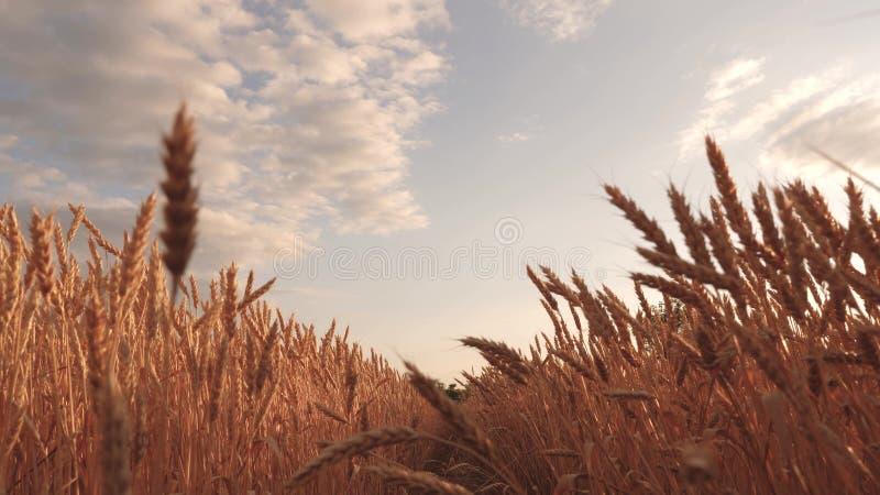 与云彩的美丽的天空在麦田的乡下 反对天空的成熟谷物收获 麦子震动的耳朵 库存例证