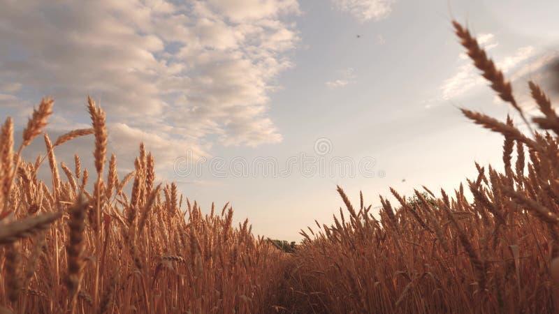 与云彩的美丽的天空在麦田的乡下 反对天空的成熟谷物收获 麦子震动的耳朵 向量例证