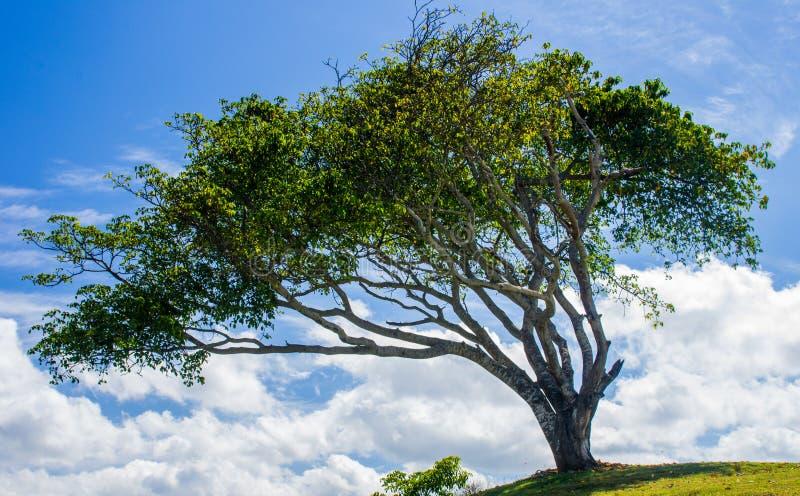 与云彩的被风吹扫树 免版税图库摄影
