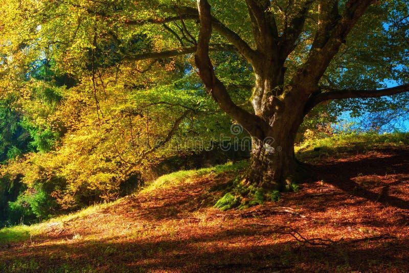 与五颜六色的下落的叶子、老树在金黄森林里& x28的不可思议的秋天风景; 和谐,放松- concept& x29; 图库摄影