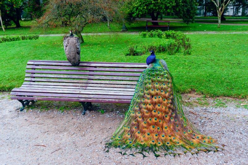 与五颜六色的全身羽毛的孔雀鸟在延长尾巴 免版税库存图片